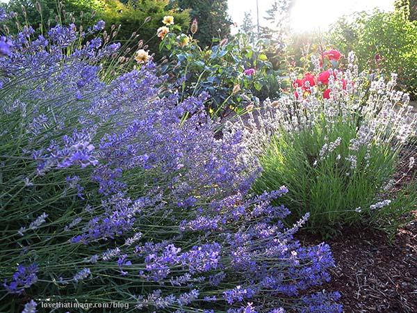 White lavender plant, and lavender lavender, in the garden
