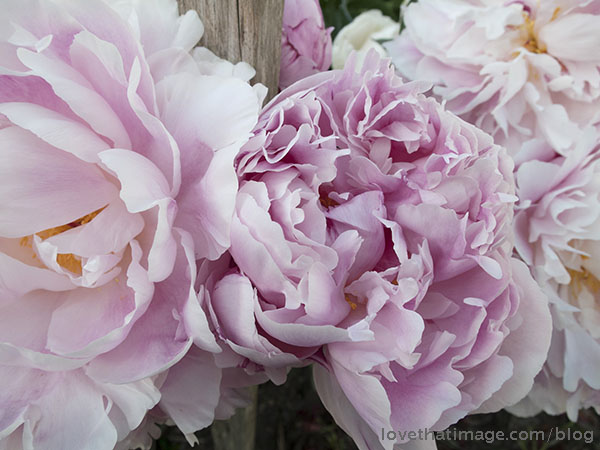 Tender pink peonies bloom in the early summer garden