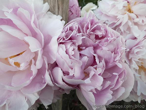 Tender pink peonies bloom in the early summer garden