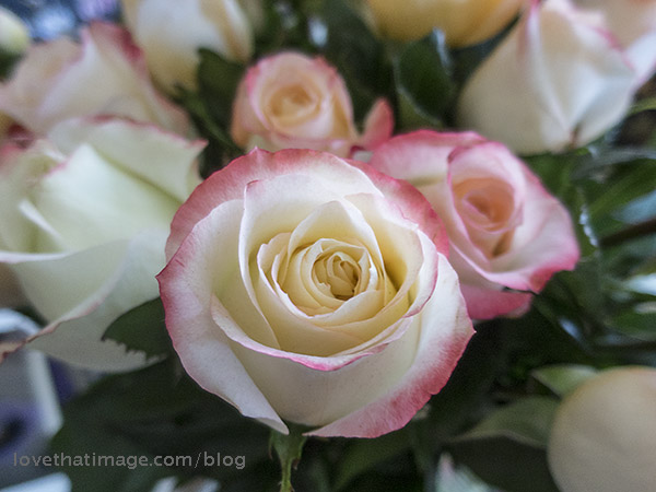 Pale roses with dark pink edges in a bouquet