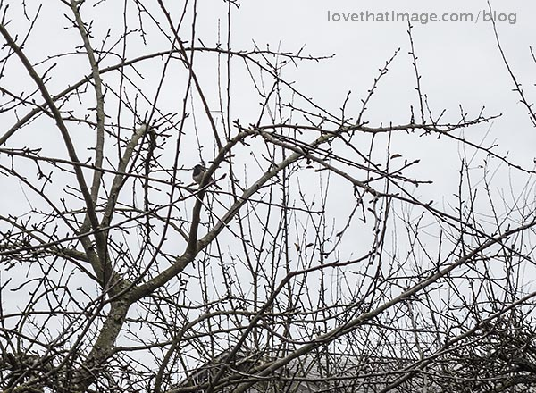 Chickadee on winter branches against a gray sky