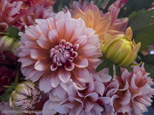 A rainbow of colors in a mass of late-summer dahlias