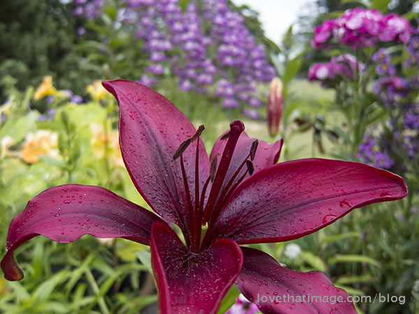 Dark red Asiatic lily blooming in June in Seattle garden