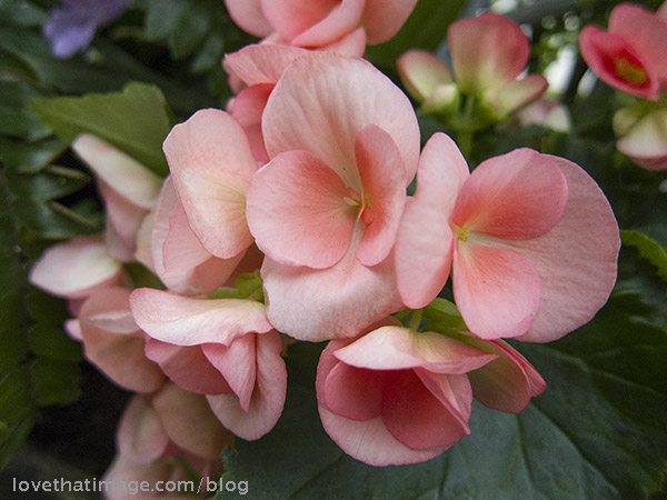 Tender pink petals of a begonia plant in the Conservatory