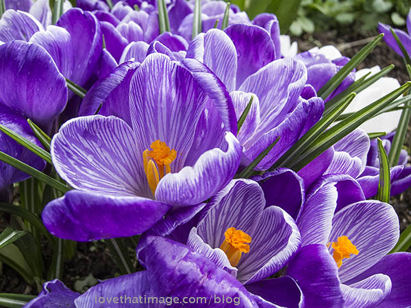 Purple crocus bulbs with white edges and stripes show off their brilliant orange centers