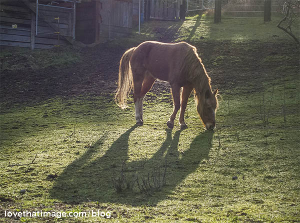 Light brown rescue horse named Tawny grazes in the winter sunlight
