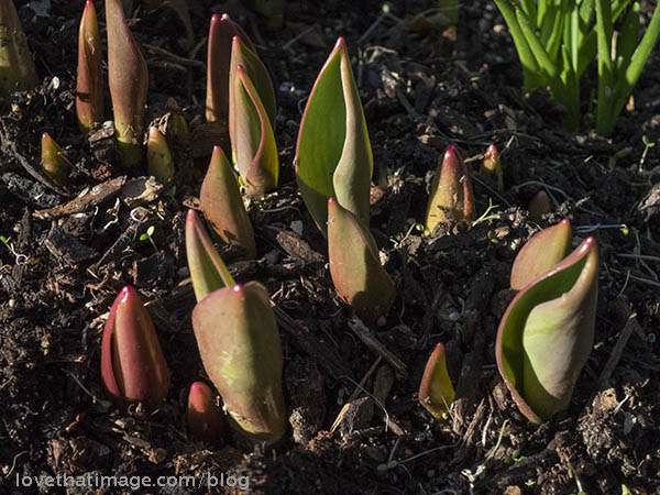 Tulip sprouts emerging in early February in Seattle