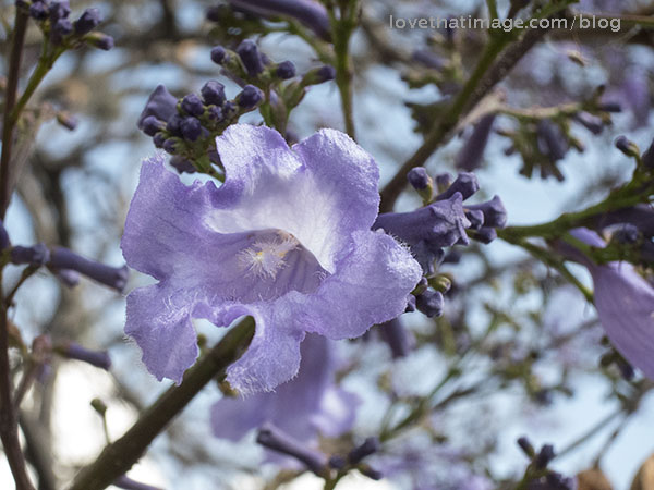 Macro image of one of the first jacaranda flowers to bloom in March in San Miguel