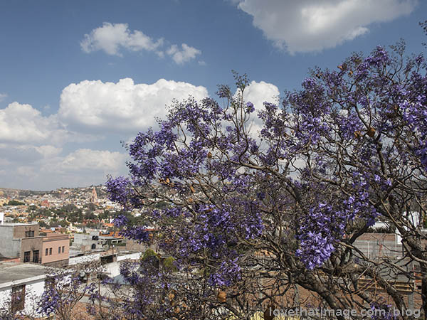 Purple jacaranda begins to bloom overlooking San Miguel de Allende, Mexico