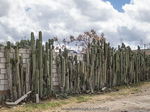 Organ cactus, called that because it resembles the pipes of a musical organ, is used as a fence or hedgerow quite commonly