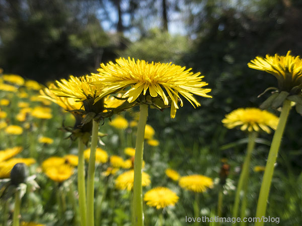 Brilliant yellow dandelions bloom in early April