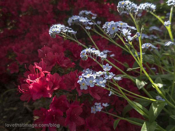 Old fashioned forget-me-nots in front of red azalea