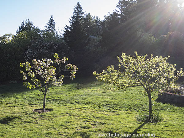 Two multi-graft fruit trees in spring sunshine