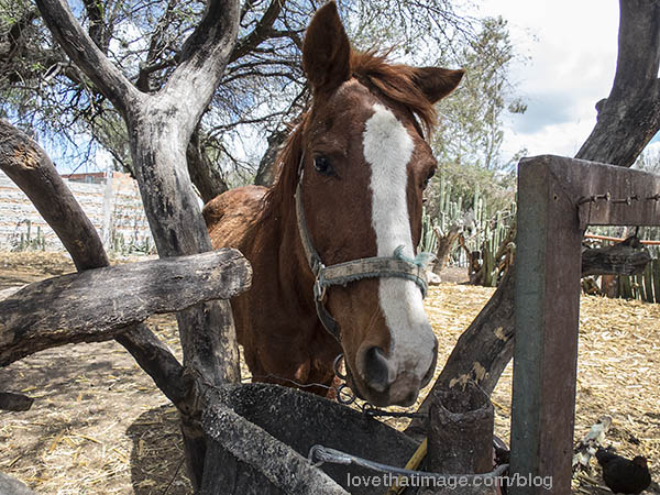 Horse in enclosure in Mexico. Note cactus fence.