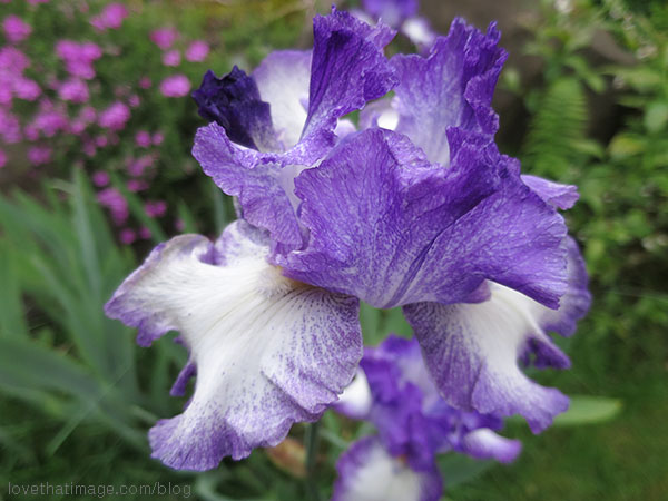 Purple and white bearded iris blooming in the garden