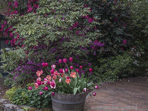 Late tulips bloom in front of rhodies in Soos Creek Garden