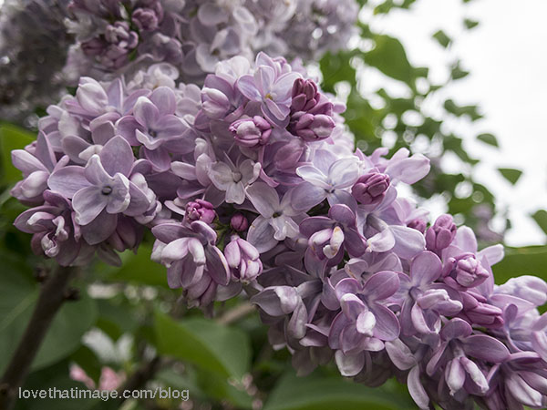 Panicle of lilac with double flowers