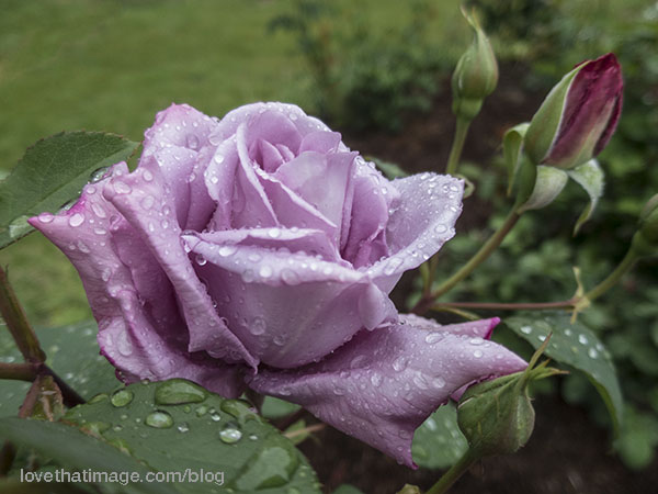 Raindrops on a new lavender rose in my garden