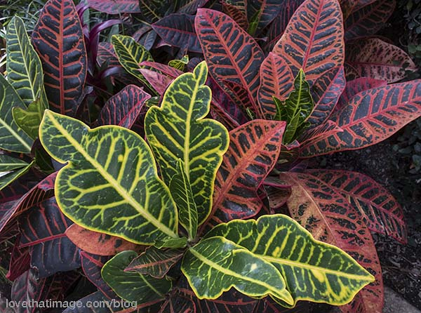 Bright yellow, red and green in this conservatory-grown croton plant