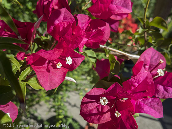 Colorful papery bracts enclose the true white flower of the bougainvillea plant.