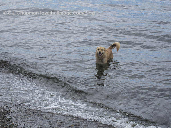 Dog smiling in the surf at Alki Beach Park in Seattle, WA.