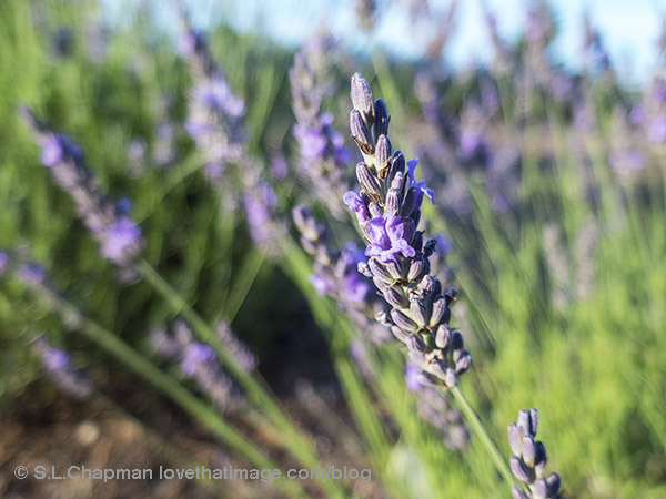 Close up of lavender, ready for harvesting and drying.