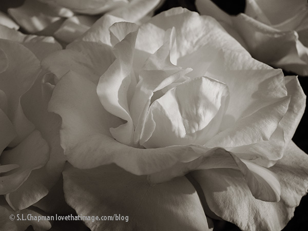 White rose close up in sepia tones.