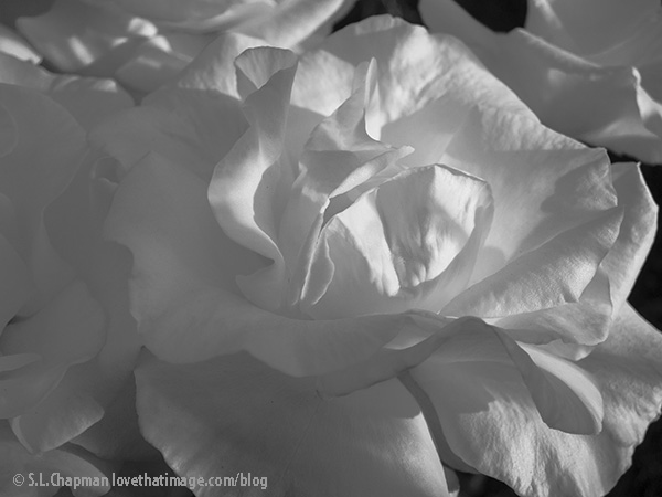 White rose macro in the garden, black and white