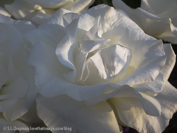 "The white rose 'Honor"" in the garden"