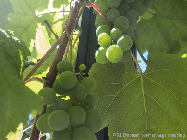 Unripe grapes in the August sunshine