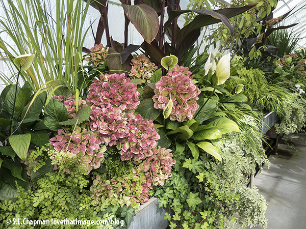 Dusty pink hydrangeas, peace lilies, and cannas in a magnificent living arrangement at the VPC in Seattle