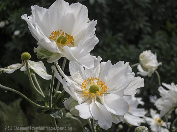 Brilliant yellow-orange centers on ruffly white petals make this a late-summer favorite in the garden