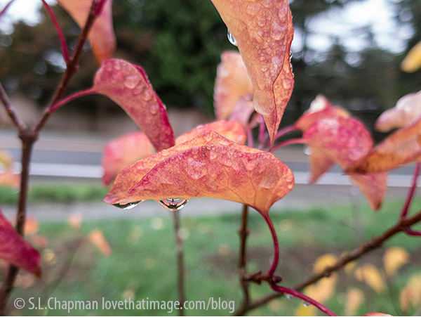 Colorful leaves dripping in the rain in the Pacific Northwest