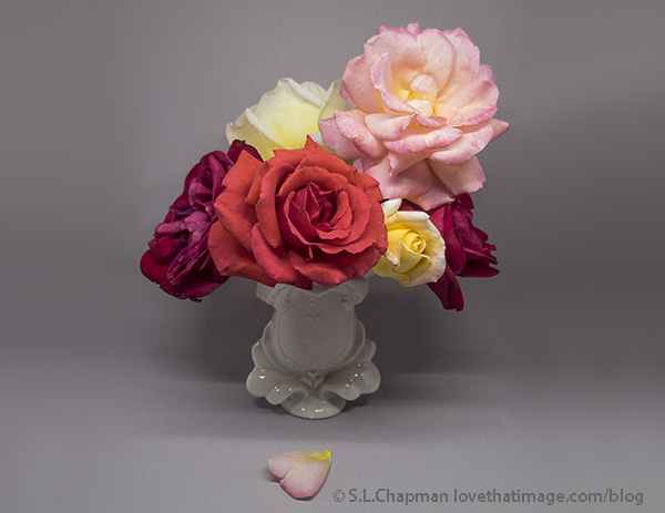 Different colors of garden roses on a gray background