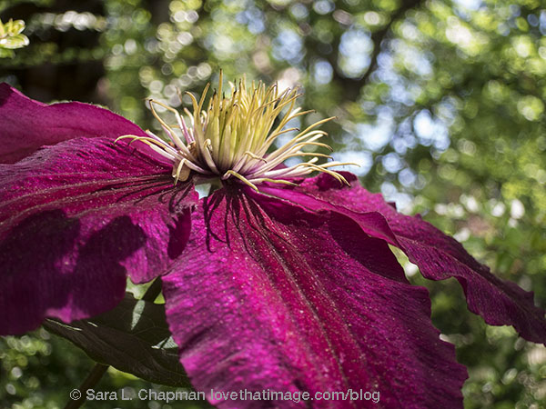 Deep magenta clematis flower, with its exciting yellow center