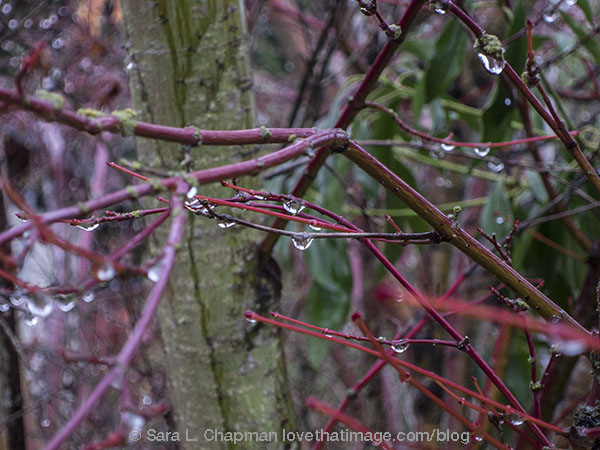 Rain drops hanging on the twigs of a coral bark maple tree
