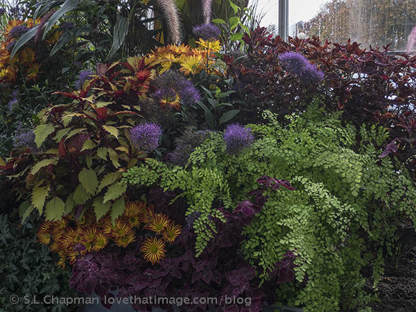 Mums and coleus and maidenhair ferns at the magnificent Volunteer Park Conservatory
