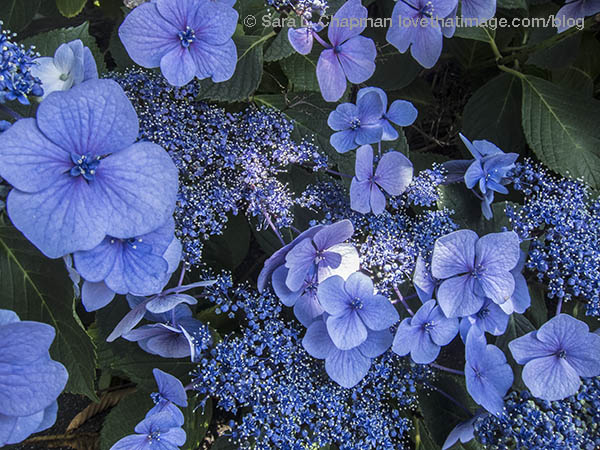 Lacy blue hydrangeas blooming in summertime