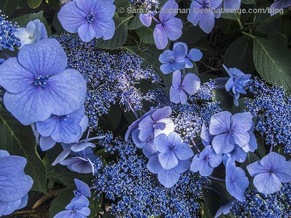Lacy blue hydrangeas blooming in summertime