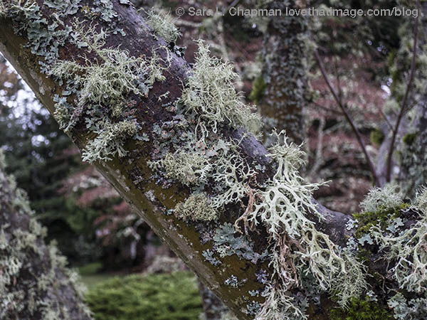 Lacy lichen on a tree trunk in the Seattle area on a wet November day
