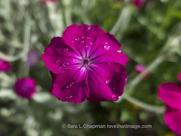 Old-fashioned Rose Campion bedecked with raindrops
