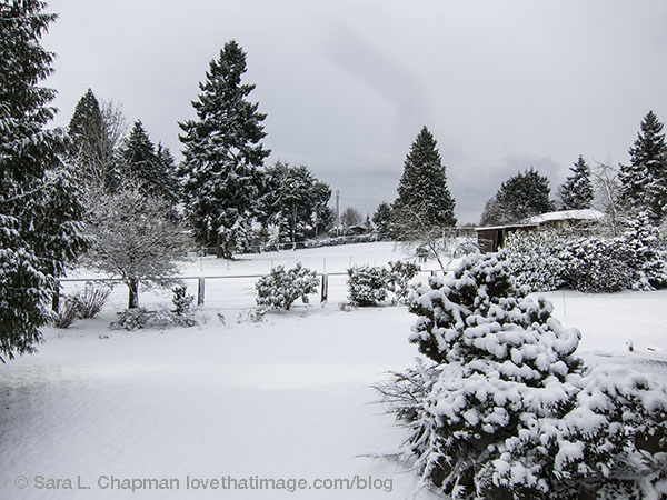 Snow on evergreens in the Pacific Northwest