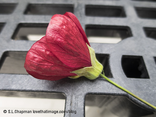 Red Abutilon Blossom Photo by @SaraLChapman