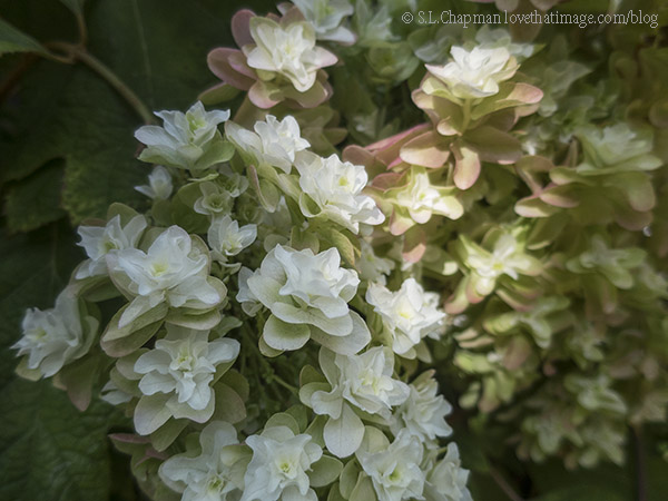 Double Hydrangea Flower Photo by @SaraLChapman
