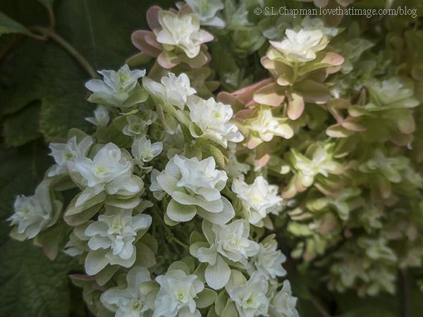 Double Hydrangea Flower Photo by @SaraLChapman