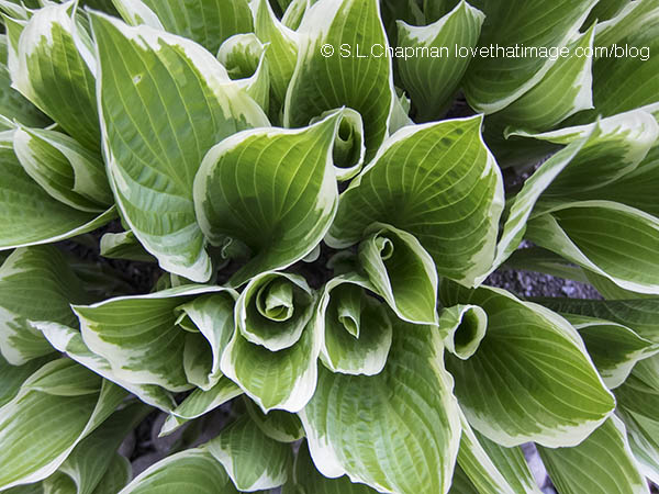 Spring Hosta Leaves Photo by @SaraLChapman