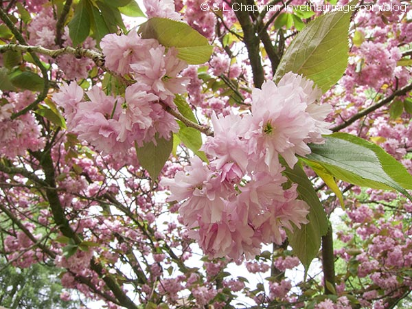 Pink Tree Flowers Photo by @SaraLChapman