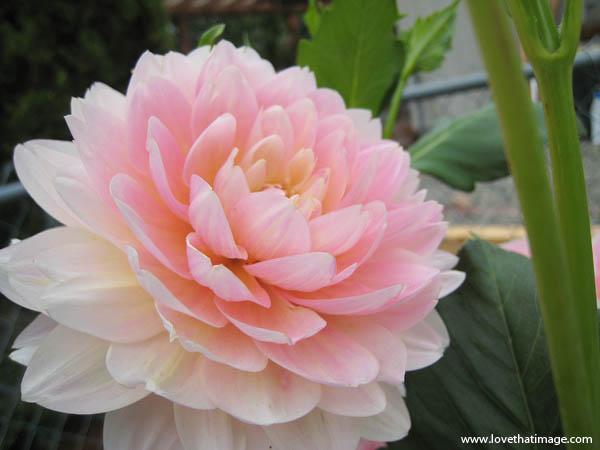 Lotus Like Pink And White Dahlia Macro Love That Image